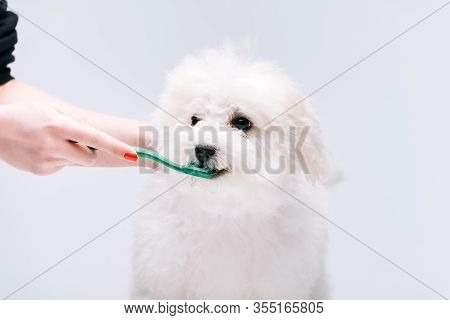 Cropped View Of Woman Brushing Teeth To Havanese Dog Isolated On Grey