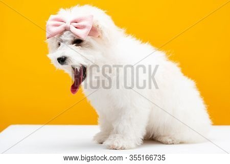Fluffy Havanese Dog With Pink Bow Tie On Head On White Surface Isolated On Yellow
