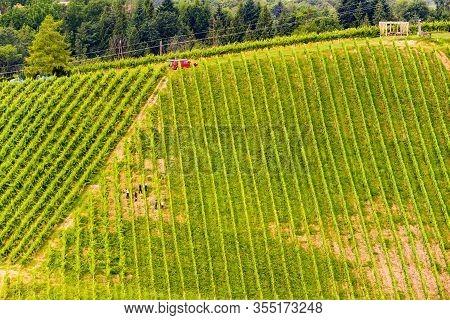 Beautiful Rows Of Grapes Before Harvesting.people In Field Working , Farmers Between Rows. Austria S