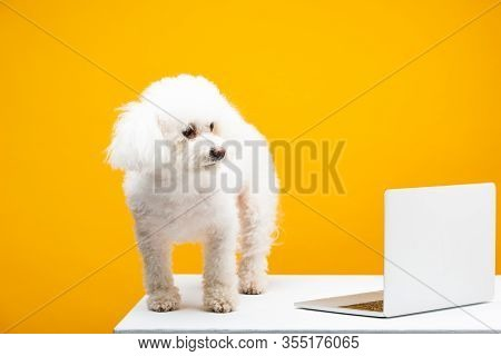Havanese Dog Looking Away Near Laptop On White Surface Isolated On Yellow