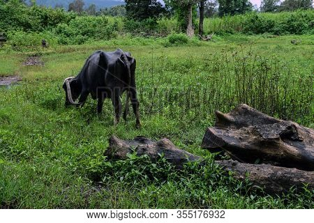 Back View Of Indian Buffalo Eating Grass In Field