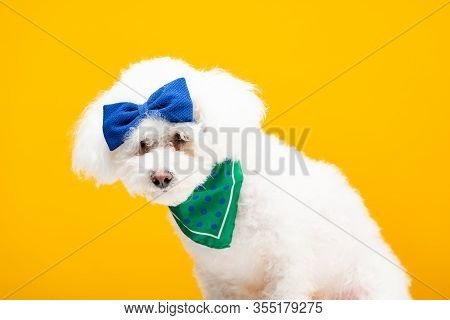 Cute Havanese Dog With Blue Bow Tie On Head And Neckerchief Isolated On Yellow