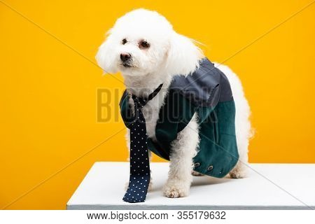 Havanese Dog In Tie And Waistcoat On White Surface Isolated On Yellow