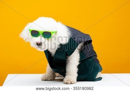 Cute Bichon Havanese Dog In Waistcoat And Sunglasses On White Surface Isolated On Yellow