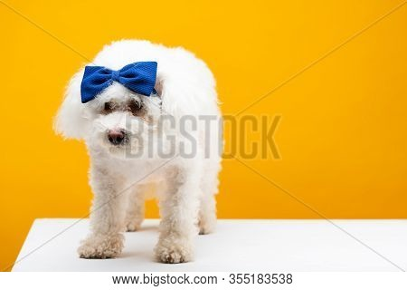 Cute Havanese Dog With Blue Bow Tie On Head On White Surface Isolated On Yellow