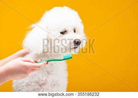 Cropped View Of Woman Holding Toothbrush Near Havanese Dog Isolated On Yellow