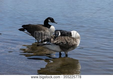 A Pair Of Canadian Geese Standing In Some Shallow Water While One Stretches Its Head Across Its Back