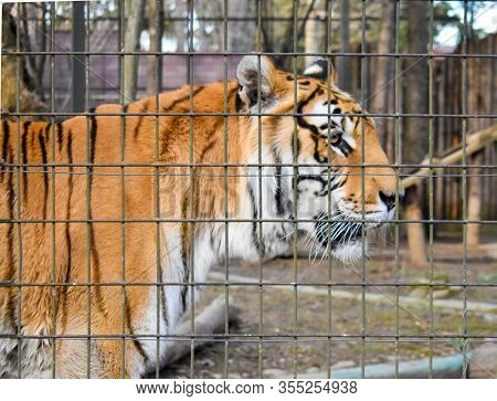 Tiger Behind Bars In Zoo. Wild Animals Kept In Captivity. The Concept Of Animal Rights.