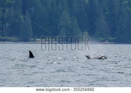 Killer Whale In Tofino Trees In Background, View From Boat On A Killer Whale