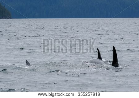 Three Killer Whales In Tofino With The Fin Above Water, View From Boat On Two Killer Whale