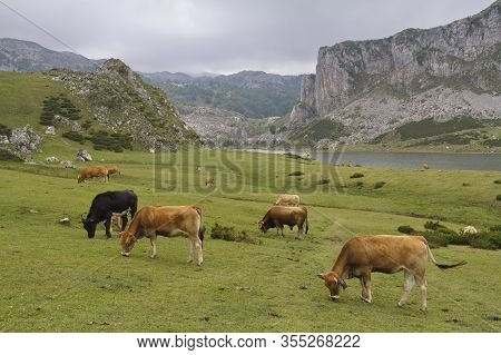 Cows In Covadonga