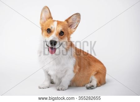 Funny Dog (puppy) Breed Welsh Corgi Pembroke Sit And With Big Smiles On A White Background. Not Isol