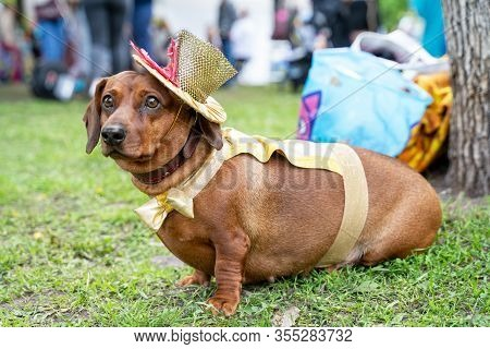 Portrait Dog Of The Red Fat Dachshund Breed In Costume Circus Performer, Hat Top Hat,  In The Park A