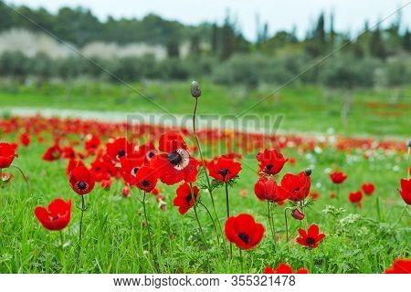 Spring Flowering Of Red Flowers Anemones In Green Meadows In Southern Israel. Red Poppy Flowers, Nat