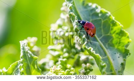 Ladybugs On Flowers Rumex Confertus Russian Dock Of Horse Sorrel Close-up. Collecting Medicinal Herb