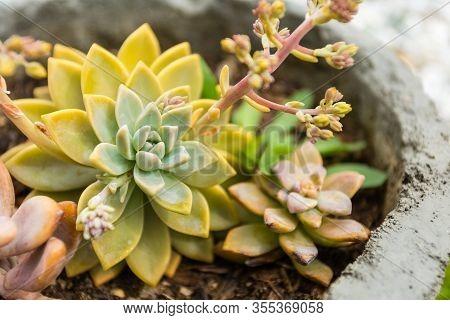 Beautiful Close Up Shot Of Succulent Plant On A Concrete Pot.