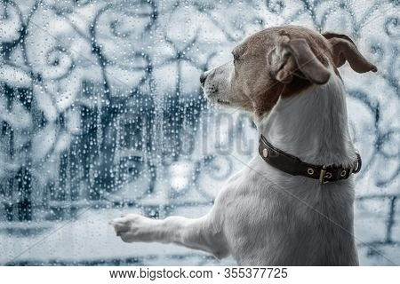 Jack Russel Dog At Window Watching The Bad And Cold Rain And Rainy Weather Looking Sad