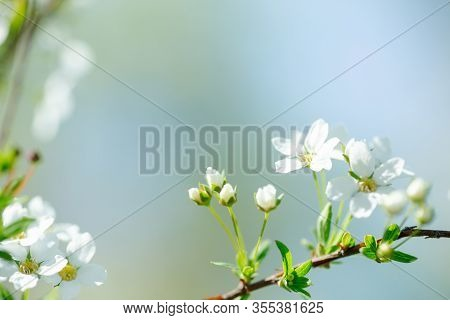 Cerasus Besseyi L.h.bailey Lunell White Small Flowers On Branches. Dwarf Cherry Blossoms In Spring.