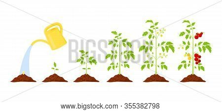 Tomato Plant Growth Stages From Seed To Ripening Red Tomato.  Elements: Leaves, Bloom, Unripe Tomato