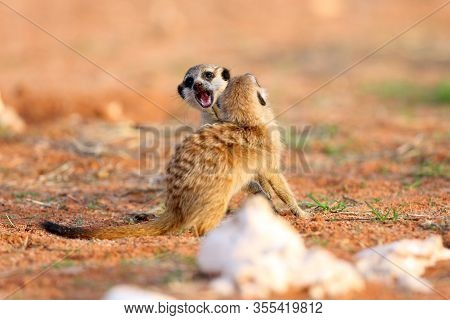 The Meerkat Or Suricate (suricata Suricatta),two Youngsters Play Near The Hole.