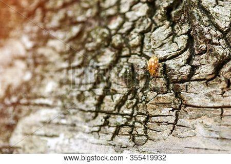 Yellow Ladybug On Birch Tree. Little Ladybird Beetle, Coccinellidae. Lady Beetle Creeping On A Tree