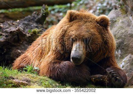 The Mainland Grizzly (ursus Arctos Horribilis) Portait Of The Big Female Bear. Grizzly Portrait.