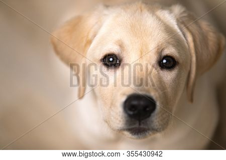 Portrait Of Dog Looking In Eyes. Devoted And Loving Look Of Labrador Puppy
