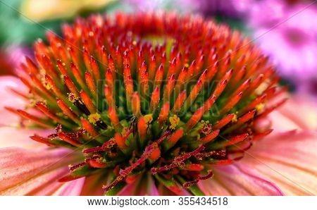 Echinacea Purpurea Magnus Or Cone Flower Or Eastern Coneflower Macro Close-up