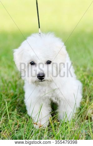 Walking Cute Bichon Frise Puppy On A Leash In Green Grass Outdoors. Portrait Shoot. Shallow Depth Of