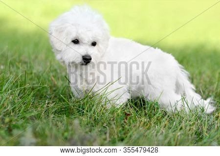 Cute Bichon Frise Puppy Posing On A Green Meadow Outdoors Against A Blurred Background. Portrait Sho