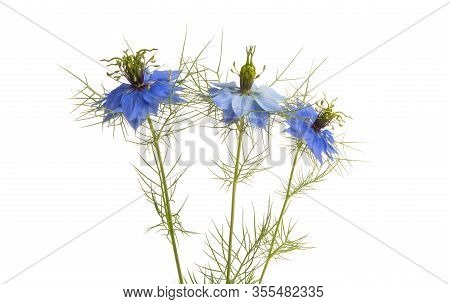 Nigella Blue Flower Isolated On White Background