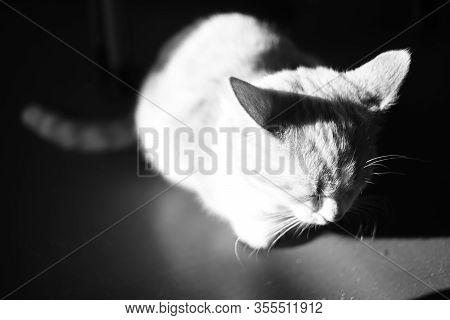 Sleepy Kitten Sits In A Dark Room In A Full Moon Light. Bw