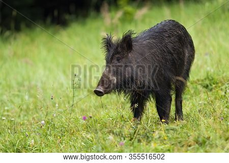 Unaware Wild Boar On Hay Field In Wilderness Looking Aside With Green Background
