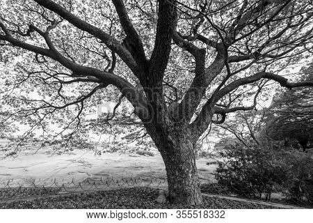 Monochrome image of large tree in Lalbagh, Bengaluru, India