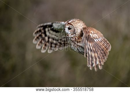 Tawny Owl Or Brown Owl, Strix Aluco, With Wings Spread As It Flies Facing Right To Left Agains A Nat