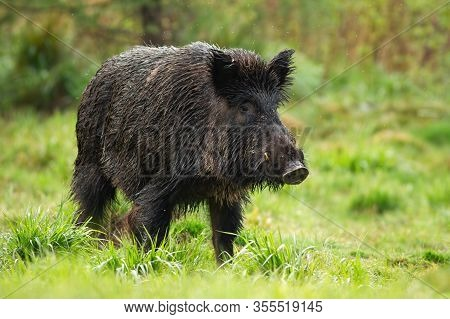 Dangerous Wild Boar Male With White Tusks On Green Meadow In Summer