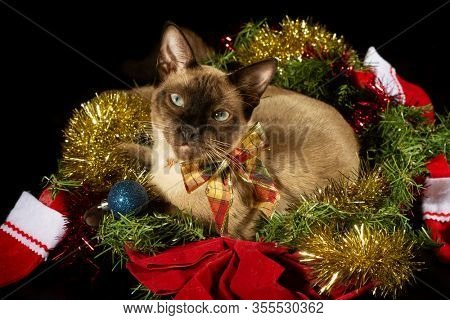 Siamese cat in the middle of Christmas tinsel; looking at the viewer; on dark background