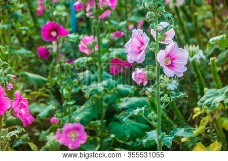 Hollyhock Flower Blossoms In The Park, Alcea Rosea (common Hollyhock) Is An Ornamental Plant In The
