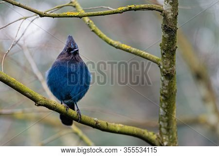 Bright Blue Steller Jay Perched On A Branch Looking Around For Food.