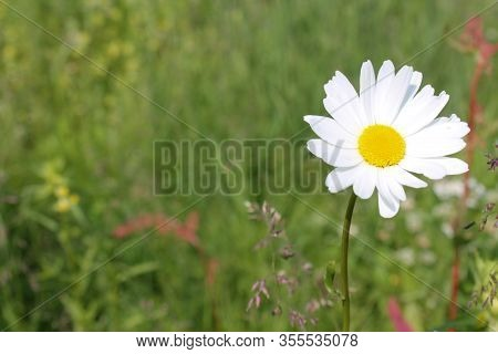 Picture Of Oxeye Daisy Herb. Herbal Medicine, Tea And Infusion, Natural Cosmetics Ingredient. Nature
