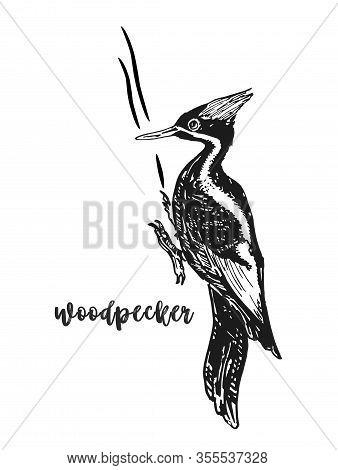 Woodpecker Bird, Sitting On The Tree. Sketch. Dryocopus Martius Species. Wildlife European And Ameri