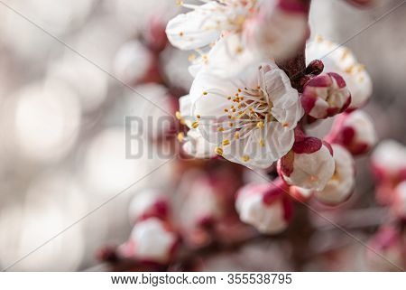 Apricot Tree Flowers In The Spring Garden In Dnipro Ukraine. Spring Blossom. Close-up. Flowering Bra