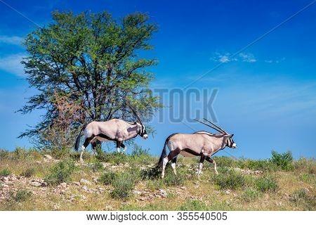 Gemsbok, Oryx Gazella Walking On Dune In Kalahari, Green Desert After Rain Season. Kgalagadi Transfr