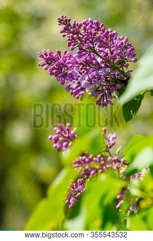Pink Lilac Flowers Closeup On A Branch. Beautiful Blurred Background Of Blossoming Garden In Springt