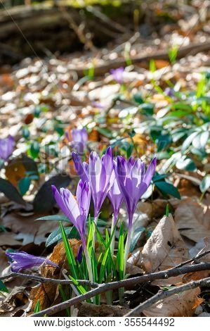 Wild Saffron Flowers In The Forest. Wonderful Sunny Day In Springtime