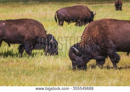 A Herd Of Buffalo Graze On Grass On A Sunny Day On A Ranch In Western Montana, Usa.
