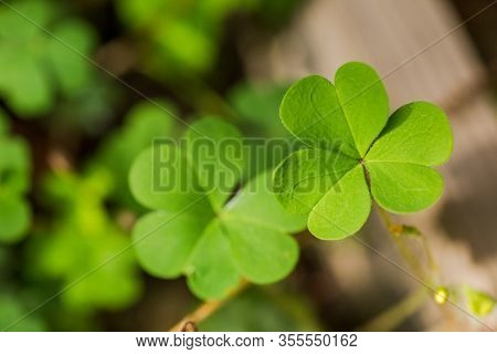 Close-up Details Of Tiny, Green Clover Leaves. Three-leaf-clovers Growing In A Back Yard.