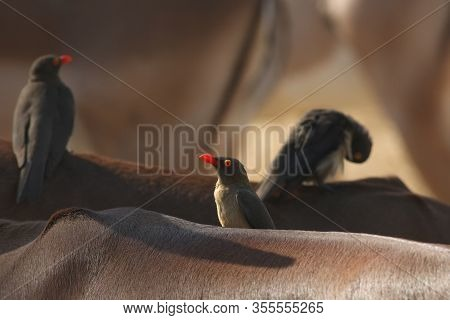 Trio Of Red-billed Oxpeckers (buphagus Erythrorhynchus) Is Sitting On Backes Of Impalas (aepyceros M