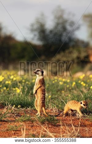 The Meerkat Or Suricate (suricata Suricatta) Is Keeping Watch In Typical Position With Yellow Flower
