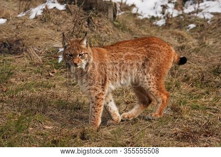 The Eurasian Lynx (lynx Lynx) Or European Lynx Or Siberian Lynx Is Standing In The Meadow In The End